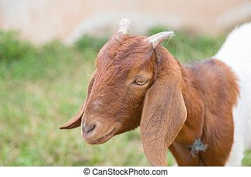 marrón, goat, mirar, naturaleza, verde, cámara, encantador