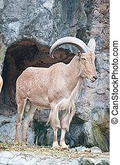 marrón, goat, montaña