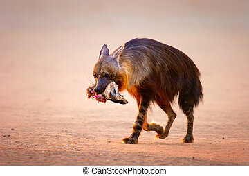 marrón, hiena, con, batee zorro eared, en, boca