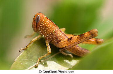 marrón, insecto, saltamontes, peste, jardín