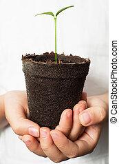 marrón, limón, planta de semillero, turba, manos, asiático, ...
