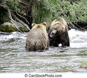 marrón, natural de alaska, agua, dos, lucha, grande, osos