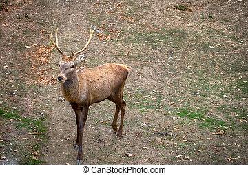 marrón, naturaleza, carpathian, venado, ramificado, cuernos
