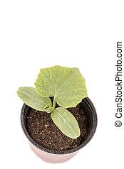marrón, olla planta, plástico, pepino, bebé
