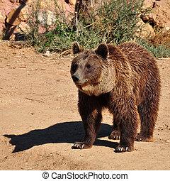 marrón, oso,  animal