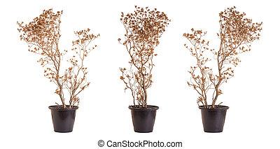 marrón, planta, potted, muerto