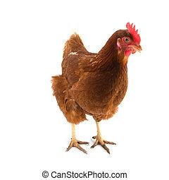 marrón, pollo