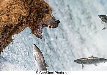 marrón, procurar, natural de alaska, salmón, oso, coger