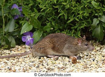 marrón, rata
