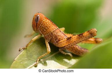 marrón, saltamontes, insecto, plaga de jardín