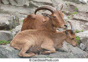 marrón, sumatraensis), serow, serow., (capricornis, -, también, conocido, sumatran, salvaje, meridional, cabras