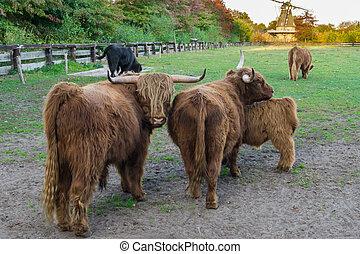 marrón, tierras altas, vaca, retrato de la familia, tierras altas, vacas, posición, en, el, pasto, juntos