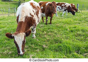 marrón, vacas, comida, pasto o césped