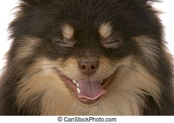 marrón, y, bronceado, pomeranian, perrito, -, miradas, como, ella, es, reír