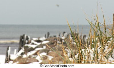 Marram grass covered with snow Winter period at Baltic Sea...