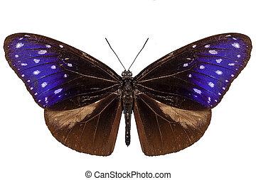 marrom, azul, e, roxo, borboleta, espécie, euploea, mulciber