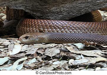 marrom, cobra, oriental