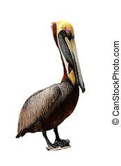 marrom, isolado, pelicano