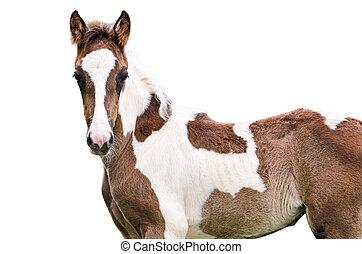 marrone bianco, cavallo, isolato