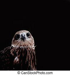 marrone, black., falco