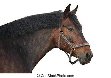 marrone, cavallo, bianco, isolato, ritratto
