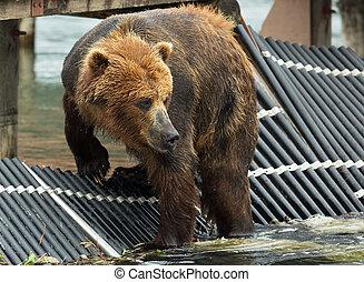 Marrone salmone alaska orso grande attesa marrone for Affitti cabina grande lago orso