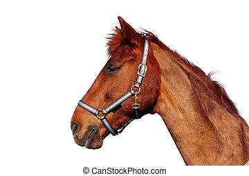 marrone, isolato, cavallo