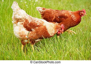 marrone, pollo, in, erba