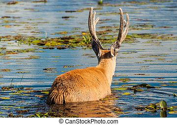 Marsh deer in Esteros del Ibera