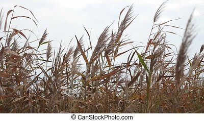 marsh dry grass sways in the wind on a gray sky background nature
