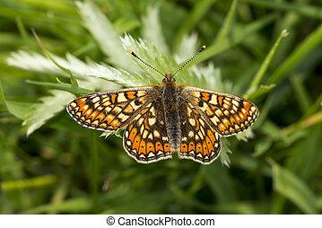 Marsh Fritillary butterfly, Euphydryas aurinia