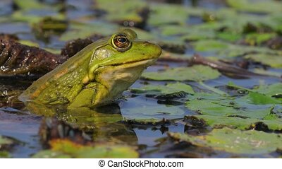 Marsh Frog Breathing - Marsh frog on water plants