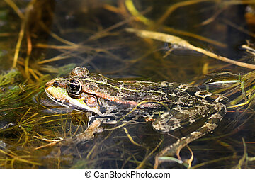 marsh frog in natural environment