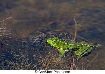 Marsh Frog in the water - Pelophylax ridibundus.