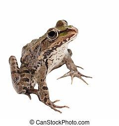 Marsh Frog isolated on white background, Pelophylax ...