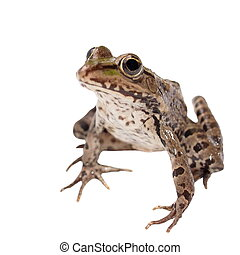 Marsh Frog isolated on white background, Pelophylax ridibundus