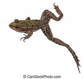 Marsh Frog isolated on white background, Pelophylax...