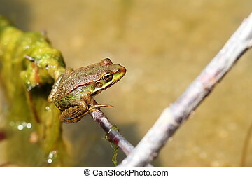 marsh frog on a twig ( Pelophylax ridibundus ), the largest european frog