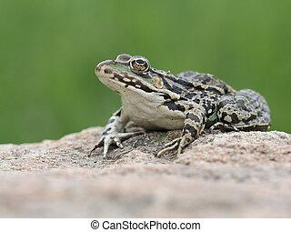 Marsh frog, Pelophylax ridibundus