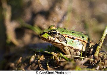 Marsh Frog (Pelophylax ridibundus) sitting in the swamp