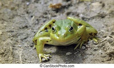 Marsh frog.