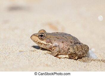 Marsh Frog