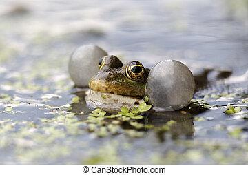 Marsh frog, Rana ridibunda, single frog in water calling, captive, April 2011