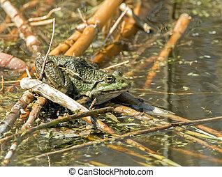 Marsh Frog resting on reeds in water