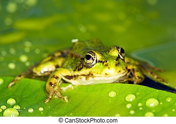 Marsh frog sits on green leaves on the lake