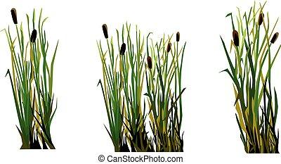 marsh grass cane isolated element white background