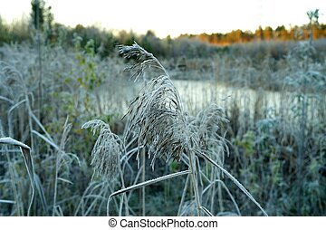 Marsh grass in hoarfrost on a background of yellow autumn sun