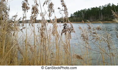 Marsh grass moving in the breeze, yellow cane swings slowly