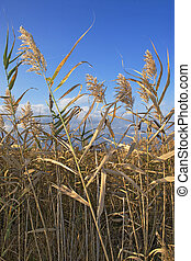 Marsh grass - Dry grass near a wetland marsh in autumn.