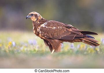 Marsh harrier female sideview - Marsh harrier (Circus ...